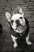 Funny french bulldog with jacket
