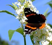 Black and Orange Butterfly with Snout