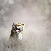 stock photo of tall grass  - Tiger  In The Tall Grass - JPG