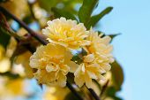 picture of climbing roses  - Climbing rose  - JPG