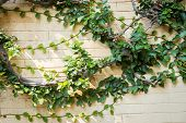 foto of climber plant  - Ivy on a stone wall - JPG