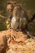 picture of macaque  - Long tailed macaque  - JPG