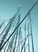 image of pampas grass  - Vintage style image - JPG