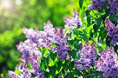 stock photo of lilac bush  - purple lilac bush blooming in May day. City park ** Note: Visible grain at 100%, best at smaller sizes - JPG