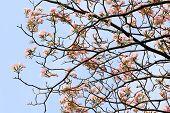 stock photo of trumpet flower  - Tebebuia Flower  - JPG