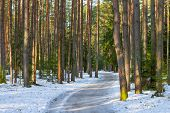 picture of snowy-road  - snowy road in a mixed forest in winter - JPG