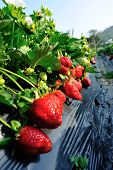 stock photo of strawberry plant  - green strawberry plants in growth at field