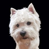 stock photo of westie  - Portrait of a West Highland White Terrier  - JPG