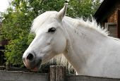 picture of pony  - Closeup of a white pony horse - JPG