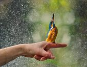 picture of tame  - friendship with tame Kingfisher sitting on your hands - JPG