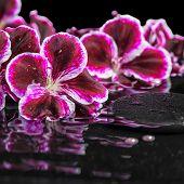 picture of geranium  - beautiful spa still life of blooming dark purple geranium flower and beads on ripple reflection dark water closeup - JPG