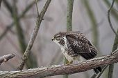 image of buzzard  - Common Buzzard  - JPG