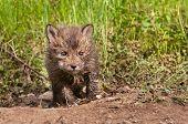 image of creeping  - Red Fox Kit  - JPG