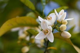 picture of valencia-orange  - Orange blossoms grace a valencia tree in early spring. Orange flowering branches with blue sky background. ** Note: Shallow depth of field - JPG