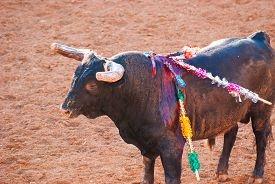 image of bullfighting  - Bull in bullfight arena during bullfights Portugal - JPG