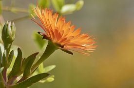 foto of yellow buds  - Mesembryanthemum flower, (ice plant), the plant in spring produces flowers of various colors (white, golden-orange or crimson red), which have the particularity to open only in full sun and close again at night ** Note: Soft Focus at 100%, best at smaller - JPG