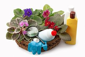 picture of pesticide  - african violet saintpaulia chemical fertilizers pesticides and insecticide arranged in a basket - JPG