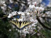 Swallowtail Butterfly  Cherry Blossom  Cropped poster