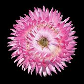 Pink Strawflower Flower, Helichrysum Bracteatum Isolated