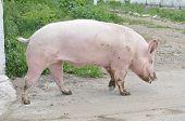 Male Hog