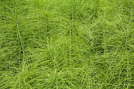 picture of horsetail  - Field Horsetail plants as a green background - JPG