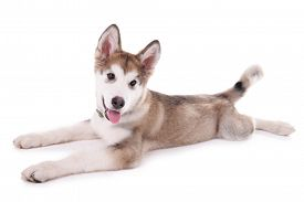 picture of laika  - Cute Malamute puppy lying isolated on white - JPG