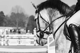 picture of horse-riders  - Horse head portrait closeup rider leg boot at equestrian show jumping in vintage black white - JPG