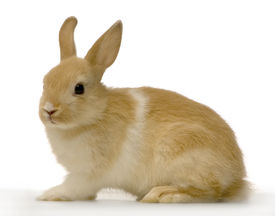 picture of bunny rabbit  - profile of a rabbit against a white background - JPG