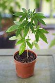 Marijuana plant growing in a pot. Medical marijuana plant growing in a small plant container. Altern poster
