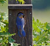 Eastern Bluebird (2)
