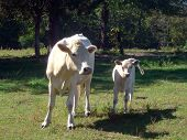 image of charolais  - White charolais cow and calf standing facing the camera. ** Note: Slight graininess, best at smaller sizes - JPG