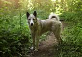 Husky Laika Dog Walk Free In Summer Green Forest poster