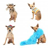a group of chihuahuas dressed in various costumes