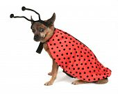 a dog dressed up as a ladybug