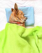 a chute chihuahua taking a nap