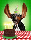 pic of ear candle  - a basset hound with long flapping ears - JPG