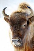picture of aurochs  - close - JPG