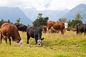 Grazing Cows- New Zealand