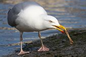 A Herring Gull Scavenging On A Bone poster
