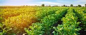 Potato Plantations Grow In The Field. Vegetable Rows. Farming, Agriculture. Landscape With Agricultu poster