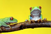 Two Red Eyed Tree Frogs