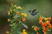 Endemic Santa Marta Woodstar Hovering Next To Yellow Flowers In Garden,hummingbird With Outstretched poster