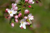 Pinkish-White Apple Blossoms