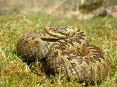 Female Adder (Vipera Berus)