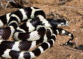 California Kingsnake - A shiny black and white snake coiled in the desert