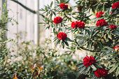 Blooming Colorful Red Rhododendron Flowers In Hothouse. Evergreen Heather Plants In Greenhouse, Red  poster