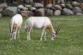 Two Antelopes