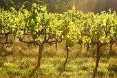 Grape Vines, Stellenbosch, South Africa