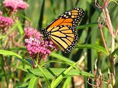 foto of monarch butterfly  - a monarch butterfly sipping nectar from a swamp milkweed flower - JPG