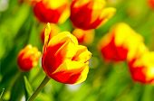 red and yellow tulip flowers in garden, shallow depth of field.